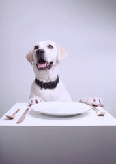 Healthy food for dogs - white Labrador waiting for food