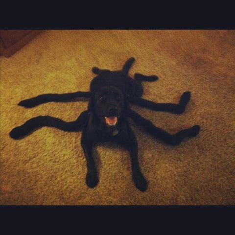 spider dog costume black labrador