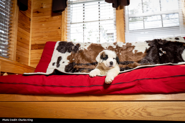 Puppy on Brown Cowhide Blanket