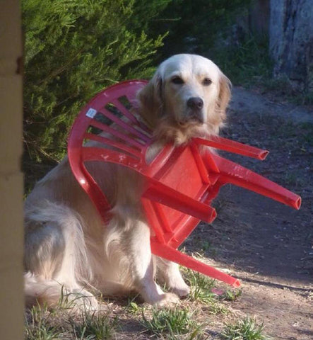 Dog in Plastic Chair