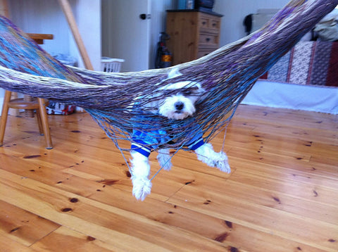 Dog caught in a Hammock