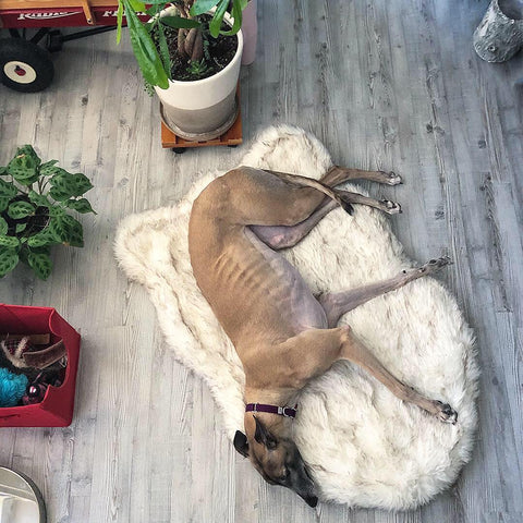 Greyhound Dog curling up on cozy faux fur orthopedic dog bed