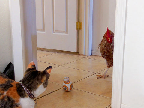 Chicken standing off with cat over Star Wars toy in hallway.
