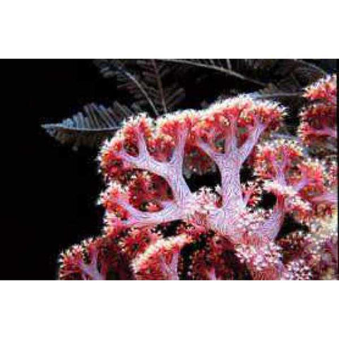 Dendronephthya sp. (colored)