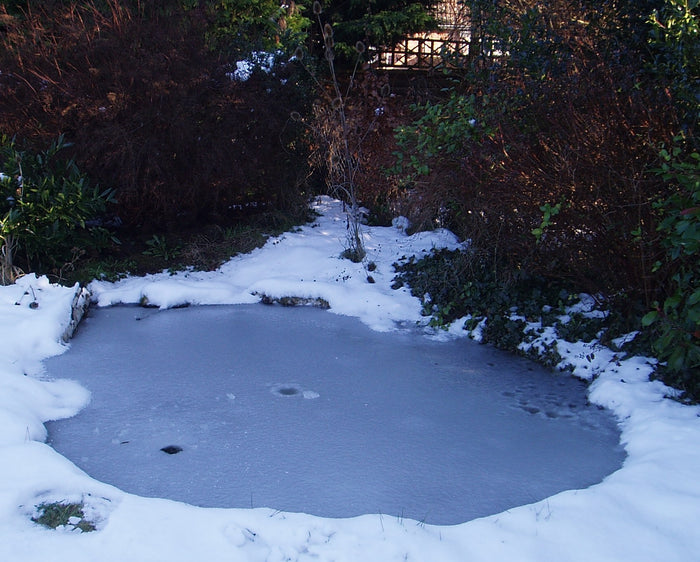 Questions Answered: Winter Koi Pond and Water Garden Care