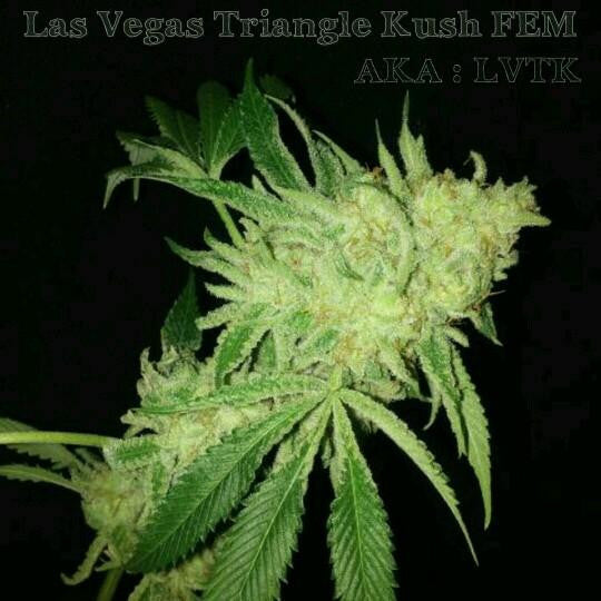 Las Vegas Triangle Kush (Lemon Skunk x Triangle Kush) Greenpoint Seeds