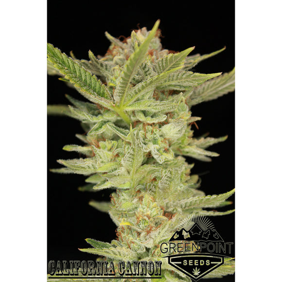 California Cannon - Greenpoint Seeds