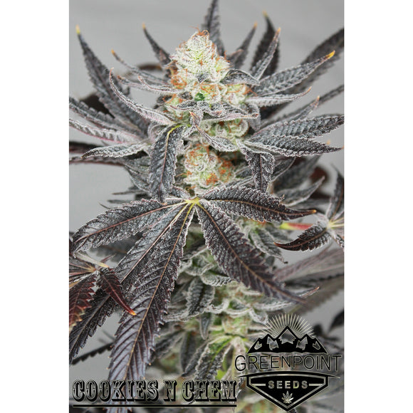 Cookies N Chem (Cookies n Cream x Stardawg) Greenpoint Seeds