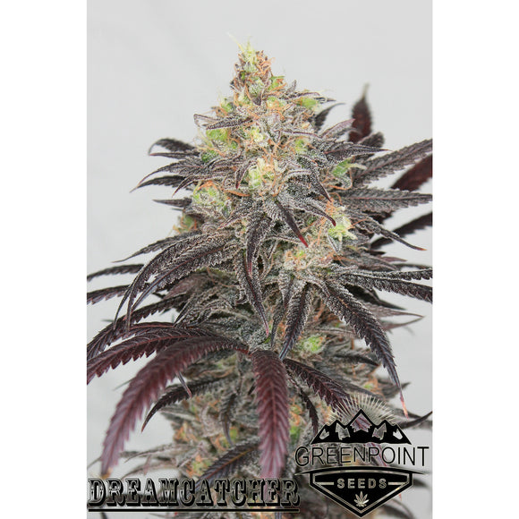 Dreamcatcher (Blue Dream x Stardawg) Greenpoint Seeds