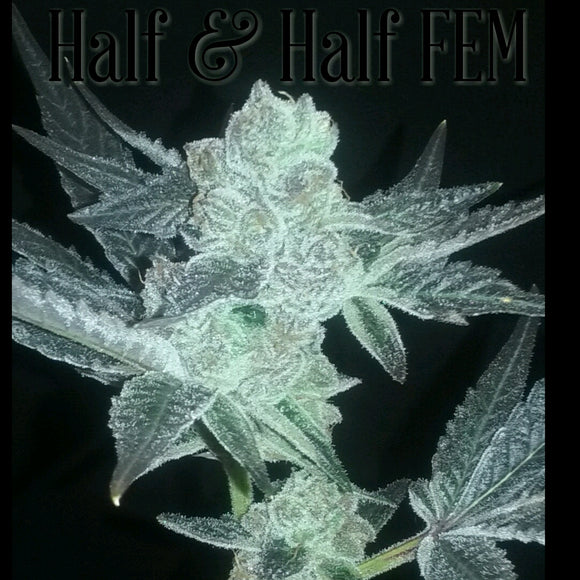 Half and Half (Harlequin x Cookie Wreck) Greenpoint Seeds