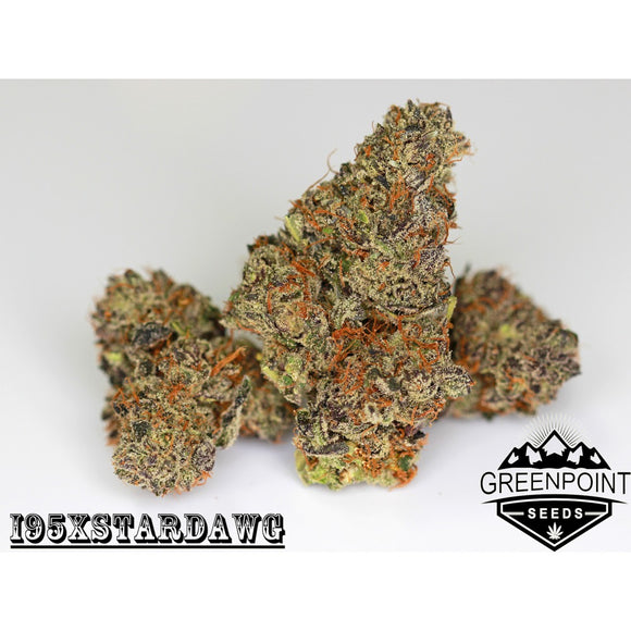 Night Rider (I95 x Stardawg) :: Greenpoint Seeds