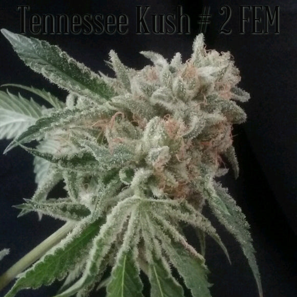 Tennessee Kush #2 (Hogsbreath x Alien Kush) Greenpoint Seeds