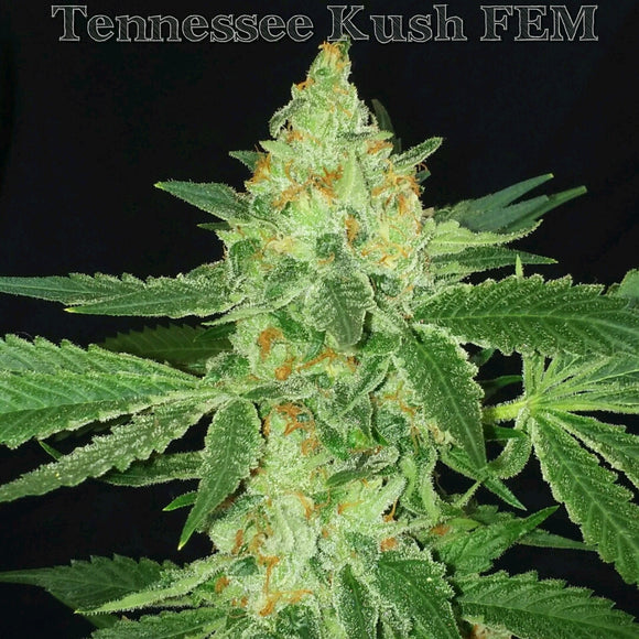 Tennessee Kush (Hogsbreath x Alien Kush) Greenpoint Seeds