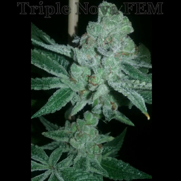 Triple Nova (Triangle Kush x Blackberry Kush) Greenpoint Seeds