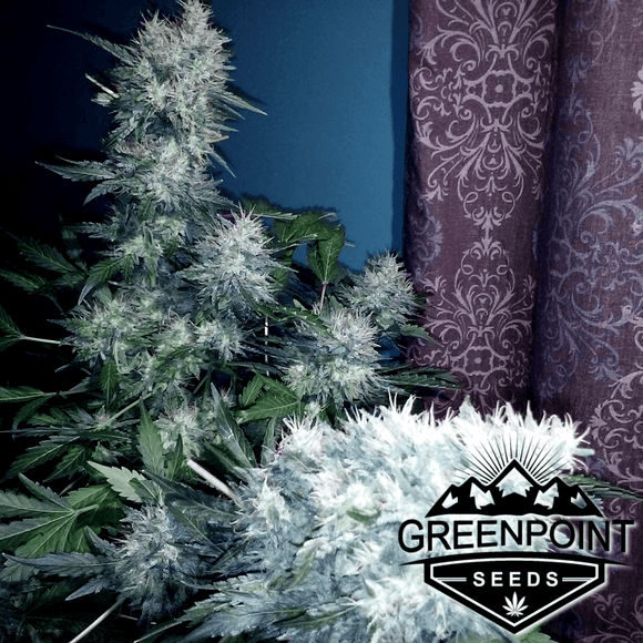 Garlix (Chem DD x Stardawg) Greenpoint Seeds