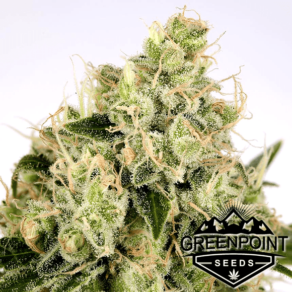 Copper Chem (Chem 4 x Stardawg) Greenpoint Seeds