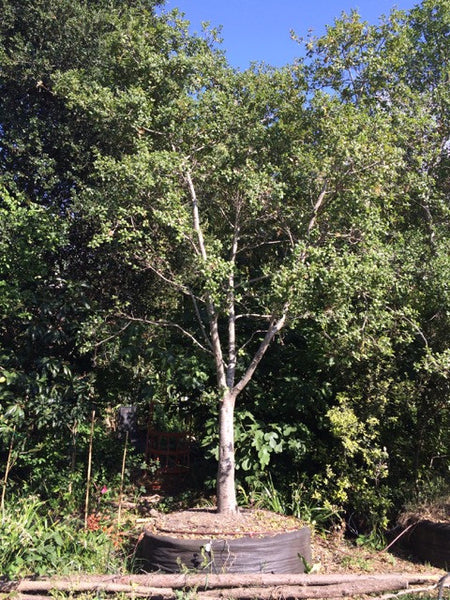 COAST LIVE OAK  Quercus agrifolia in a 48 inch pot, extra large