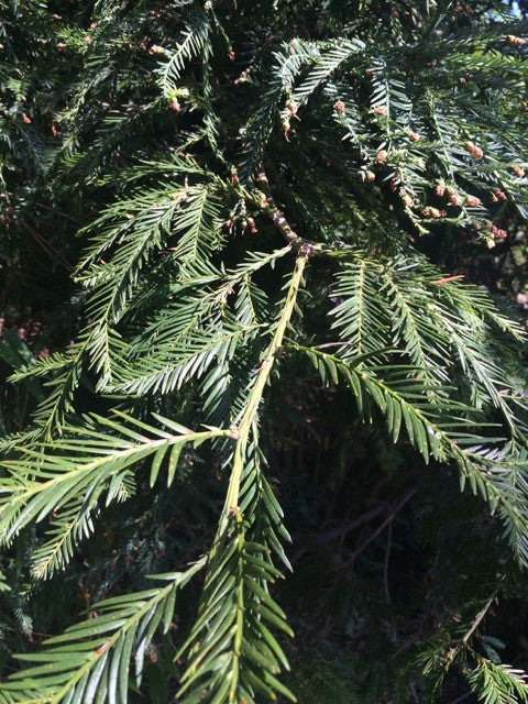"COAST REDWOOD Sequoia sempervirens in 60"" pot, large"