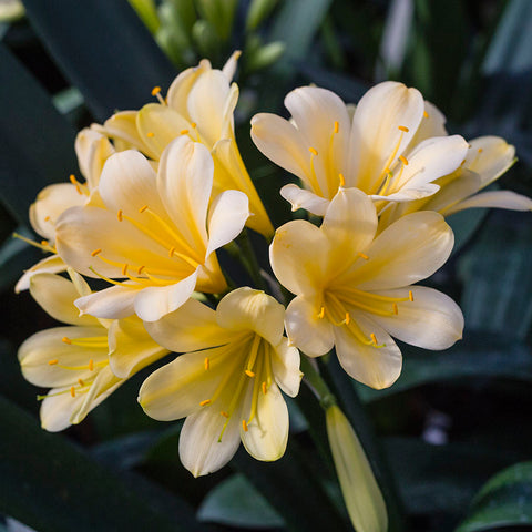 Clivia miniata, Butter x Hirao.  A group 2 yellow.