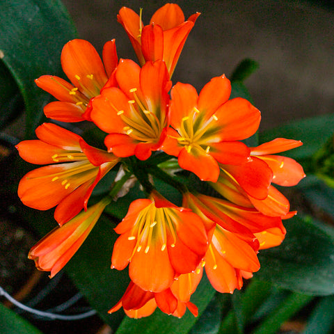 Bronze Green Throat x Pretoria Green, Clivia miniata