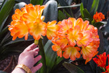 Hattori Tri Color, Clivia miniata in bloom