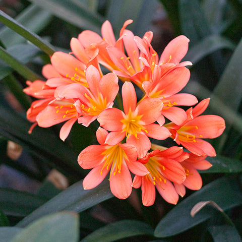 Clivia miniata, Red Ghost.  Colorado Clivia's plant no. 77