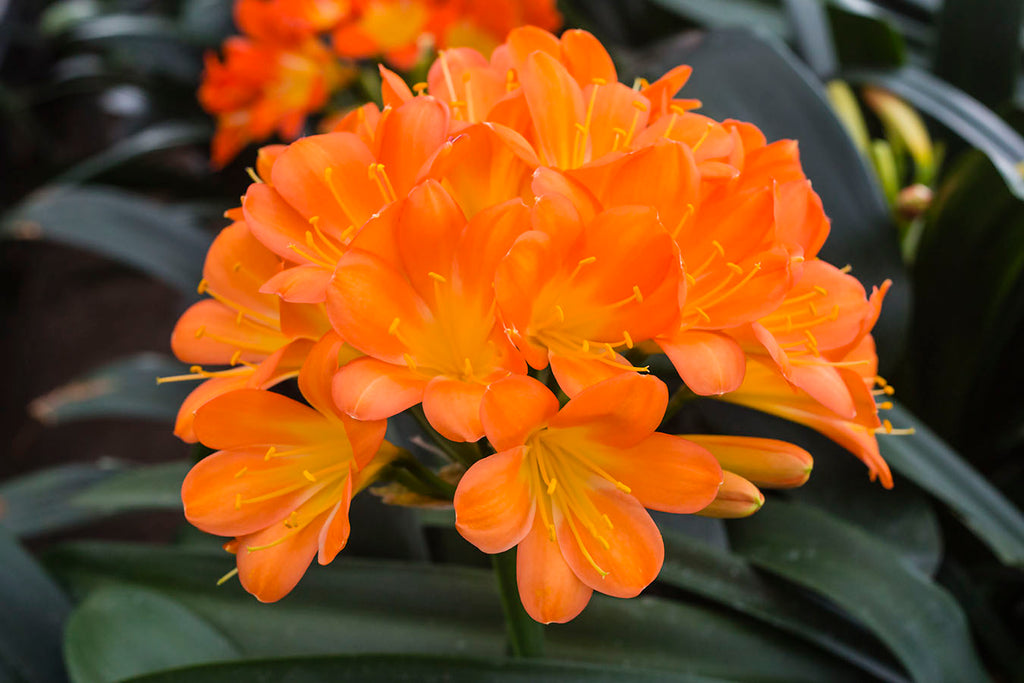 Light Orange, Clivia miniata