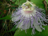 Passion Flower Flower Essence