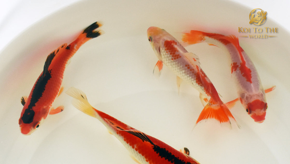 Sneak Peak - New Goldfish For Sale Soon!