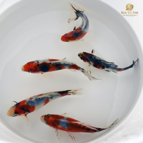 Sneak Peak - New Goldfish For Sale Soon! | Koi To The World