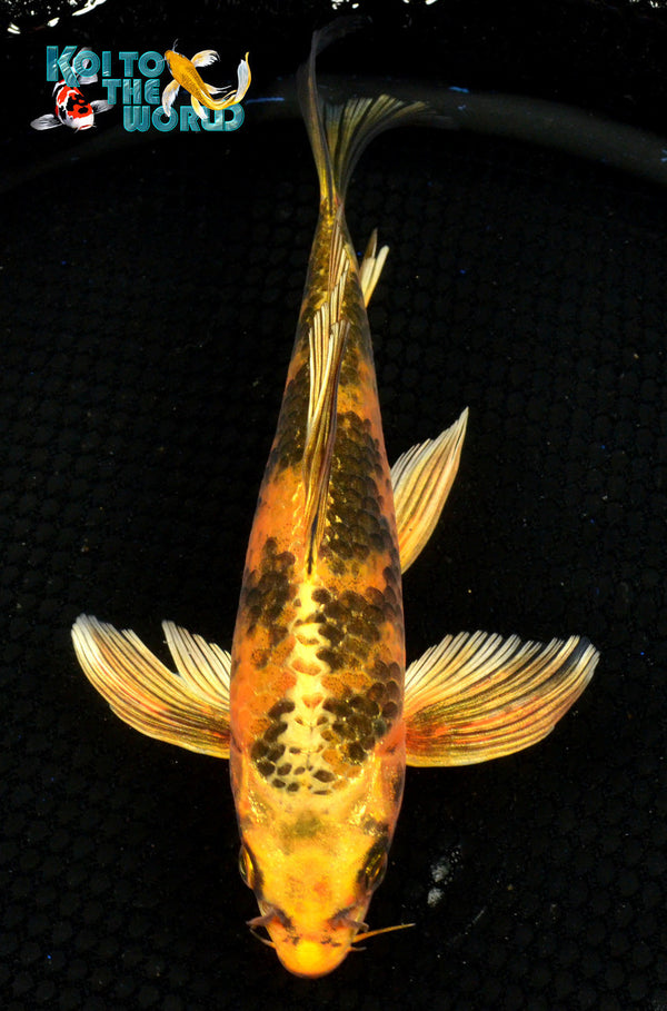 "8.5"" KIN KI UTSURI BUTTERFLY 10229 - Koi To The World - 1"