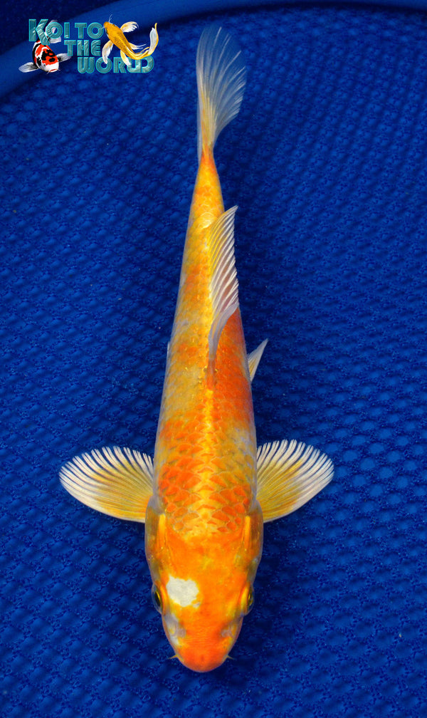 "7.5"" HARIWAKE 10346 - Koi To The World - 1"