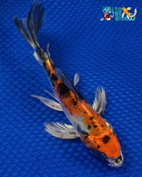 "7.5"" KIN SHOWA BUTTERFLY 10304 - Koi To The World - 1"