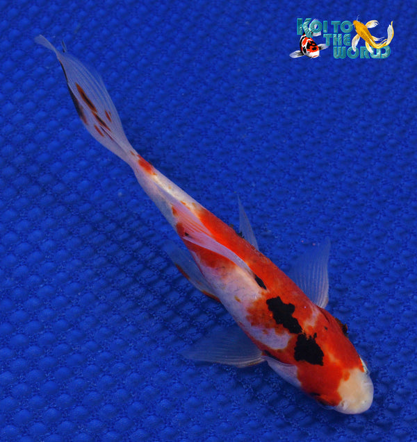 "6"" SHUBUNKIN 10327 - Koi To The World - 1"