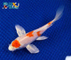 "6.25"" HARIWAKE BUTTERFLY - Koi To The World - 2"