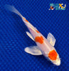 "6.25"" HARIWAKE BUTTERFLY - Koi To The World - 5"