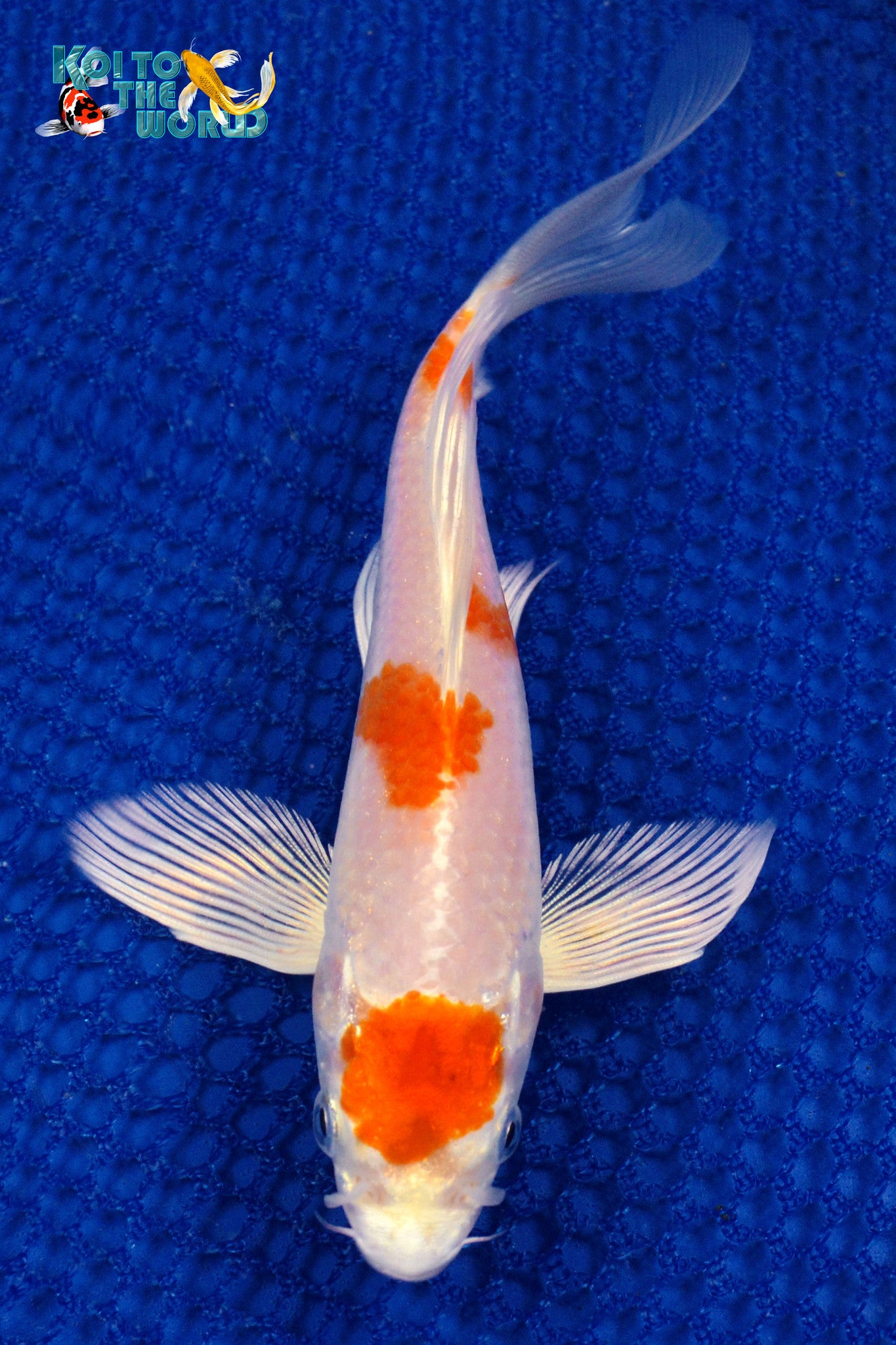 "6.25"" HARIWAKE BUTTERFLY - Koi To The World - 1"