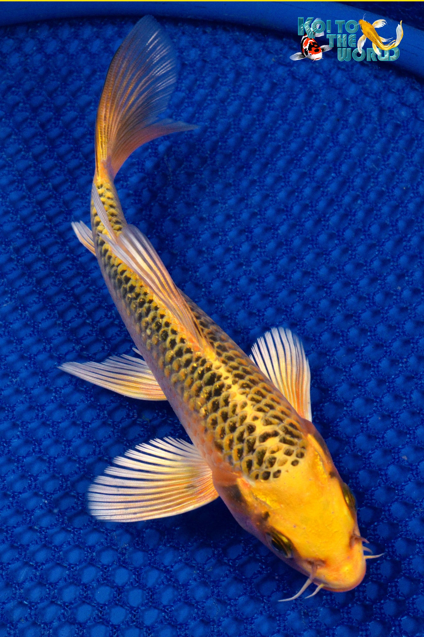 Ki matsuba butterfly koi to the world for Koi fish for sale