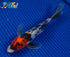 products/04_10_2015_Card_2_Koi_Fish_For_Sale_144.JPG