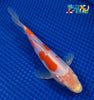 "6.75"" DOITSU KOHAKU BUTTERFLY - Koi To The World - 3"