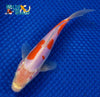 "6.75"" DOITSU KOHAKU BUTTERFLY - Koi To The World - 2"