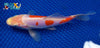 "6.75"" DOITSU KOHAKU BUTTERFLY - Koi To The World - 5"