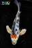 "7.75"" TANCHO KIN SHOWA BUTTERFLY - Koi To The World - 1"