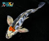 "7.75"" TANCHO KIN SHOWA BUTTERFLY - Koi To The World - 5"