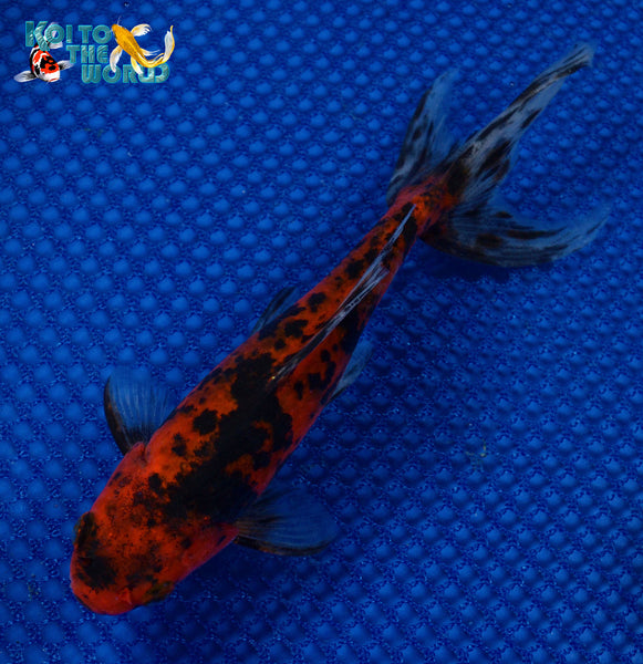 Watonai Goldfish Koi To The World