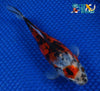 "6.5"" SHUBUNKIN GOLDFISH - Koi To The World - 3"