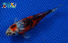 "6.5"" SHUBUNKIN GOLDFISH - Koi To The World - 4"