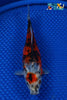 "6.5"" SHUBUNKIN GOLDFISH - Koi To The World - 1"