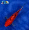 "7"" SHUBUNKIN GOLDFISH - Koi To The World - 2"