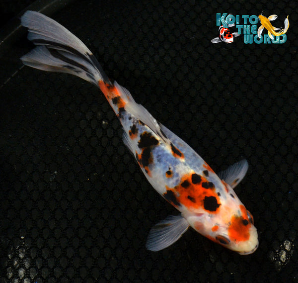 6 5 shubunkin goldfish koi to the world for All black koi fish